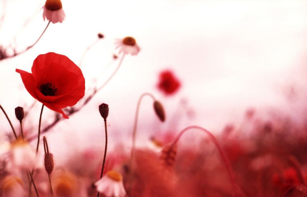 remembrance day background