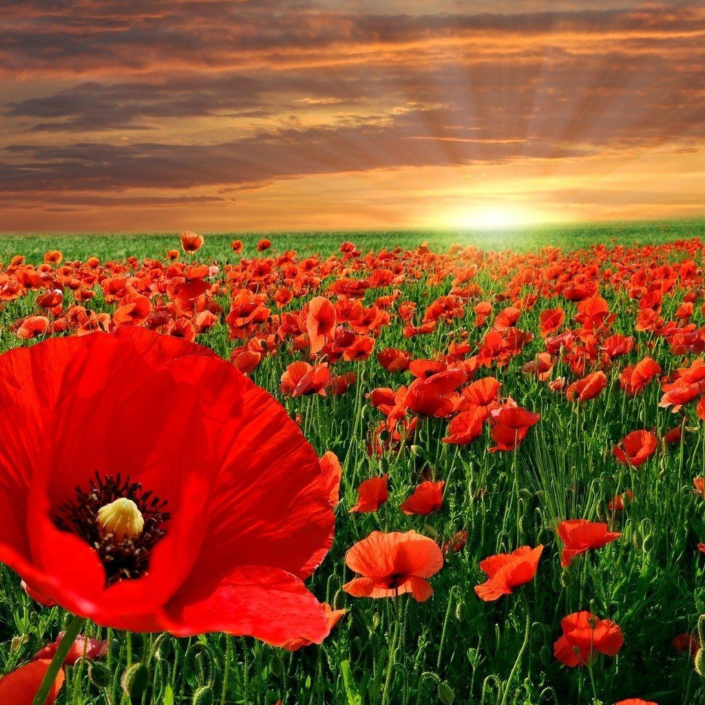 remembrance day poppy wallpaper